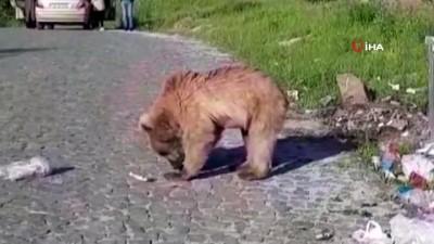 ziyaretciler -  Bitlis'in maskotu 'Boz ayılar' yeniden görüldü