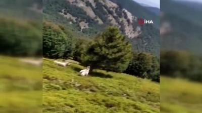 Çoban köpeklerinin kovaladığı ayılar ağaca sığındı...O anlar kamerada