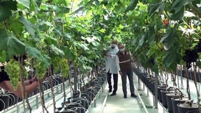 Serada üzüm yetiştirdiler, sezondan önce hasat edildi