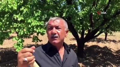 Malatya'da kayısı rekolte tartışmaları devam ediyor