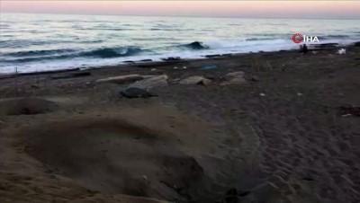 Antalya sahillerinde caretta carettaların yumurtlama dönemi sürdürüyor