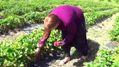 Tavsiye üzerine çilek bahçesi kurdu iş kadını oldu - KAHRAMANMARAŞ