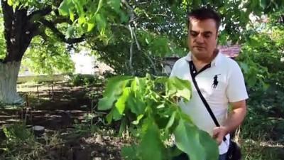 Tescilli ağacın cevizi dalında satılıyor - KIRŞEHİR