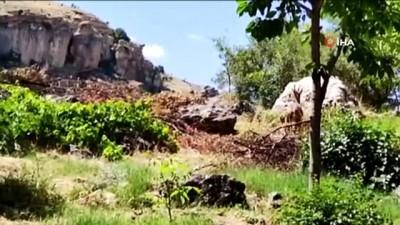 dag kecisi -  Tunceli'de dağ keçisi avlattırma ihalesi iptal edildi