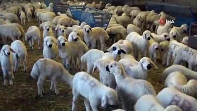 Aksaray'dan canlı hayvan ihracatı ve ithalatı başladı
