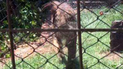 İllüzyonist Aref'in Bengal kaplanı, hayvanat bahçesinin maskotu oldu
