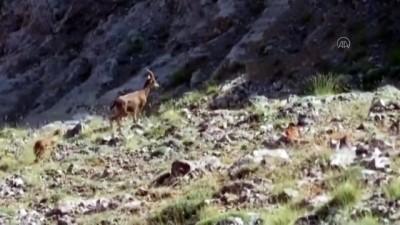 kacak avci - Koruma altındaki yaban keçileri görüntülendi - KAYSERİ