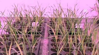 Buğdayın laboratuvardaki hasadı 8 aydan 2 aya düştü - SAMSUN