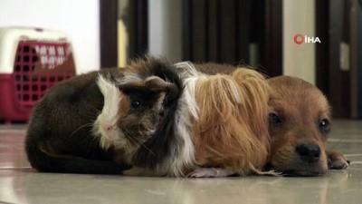 Gine domuzuyla, yavru köpeğin dostluğu görenleri şaşırtıyor