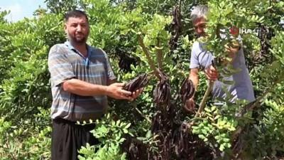 hirsiz -  Üretici, hırsız korkusu ile keçiboynuzunu 1 ay erken hasat etti