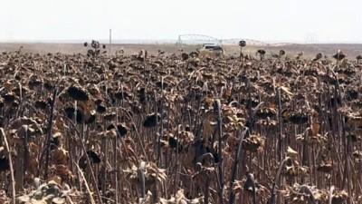 Dünyanın en büyük tarım işletmesinde ayçiçeği hasadı başladı - ŞANLIURFA
