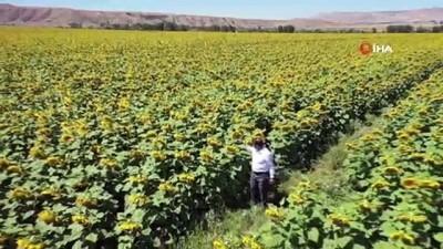 allah -  Bozkır sarıya boyandı...35 bin dekar alana yayılan ayçiçeği tarlaları böyle görüntülendi