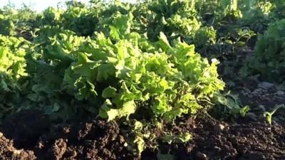 Dolu, ekili tarım arazilerine zarar verdi - KARS