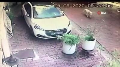 Beşiktaş'ta kadın sürücü köpeğe çarpıp kaçtı - Kadın sürücünün köpeğe çarptığı anlar kamerada