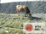 marmara ereglisi - Rayların Üzerinde Otlayan İneğe Tren Çarptı