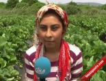 Çilek İşçileri 1 Mayısı Tarlada Kutladı