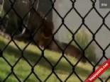 Hayvanat Bahçesinde Korku Dolu Anlar (Aslan Kavgası)