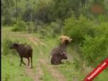 Bufalo Aslan Kavgasında Yaşananlar Şaşırttı