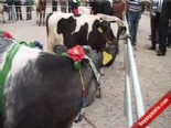 Çanakkale'de Sığır Güzellik Yarışması