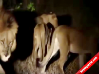 guney afrika - Kirpi 17 aslana böyle meydan okudu