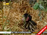 Leopar Öldürdüğü Maymunun Yavrusunu Görünce Bakın Ne Yaptı