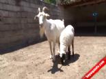 Bu Keçi Hem Köpeğe Hem De Kuzuya Annelik Yapıyor