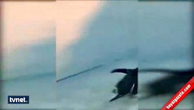 Penguenlerin hayvanat bahçesinden kaçma çabası !