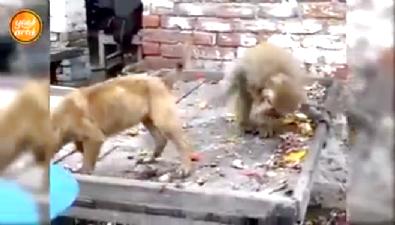 Köpekle maymunun inanılmaz kavgası