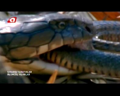 Dünyanın En Tehlikeli Zehirli Yılanı / Kral Kobra