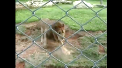 13 Yıllık Kafes Hayatından Sonra Toprağa İlk Kez Basan Aslan'ın Sevinci