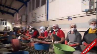 Sinop'tan Uzak Doğu'ya deniz salyangozu ihracatı