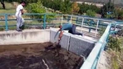kanal d -  Sulama kanalına düşen 7 domuzu elleri ile kurtardı