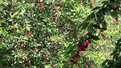 Bursa'nın dağ kirazı 8 liradan ihracatı bekliyor...Kiraz bahçeleri havadan görüntülendi