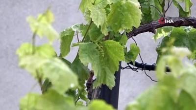 Asma ağacı kış ortasında ikinci meyvesini verdi