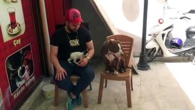 saldirganlik -  Pitbulldan yavru kediye anne şefkati