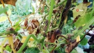 vampir -  Vampir Kelebekler artık yüksek rakımlı yerlerde de görülmeye başladı