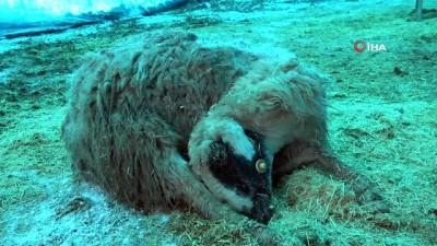 Elazığ'da hayvan ölümleri devam ediyor, sayı korkunç