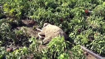 Başı boş köpekler dehşet saçtı: Etrafı tel örgüyle çevrili tarlaya giren köpekler 10 koyunu telef etti