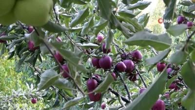 - Bitlis'teki elma hasadı yüzleri güldürüyor