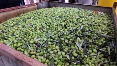 Burhaniye'de zeytin hasadı başladı, yağ kalitesi sevindirdi