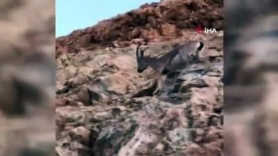 kayali -  Erzincan - İliç yolunda yaban keçileri yol kenarına indi
