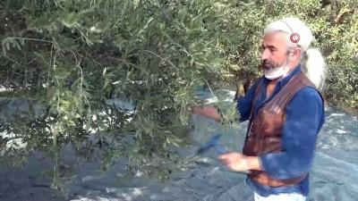 bolat -  Dünya'nın en kaliteli sofralık zeytinlerinin hasadı başladı