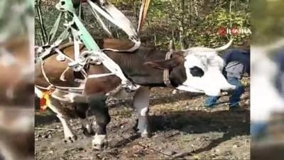 - Doğumu yaklaşan ineği 2 günlük operasyonla kurtardılar - Dereye yuvarlanan ineğinin yanında bir gece nöbet tuttu