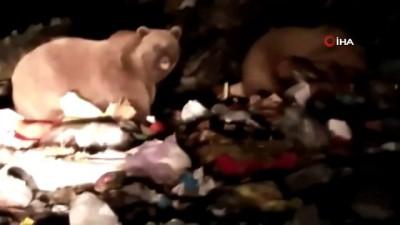 diyalog -  Sarıkamış'ta kış uykusu öncesi besin depolayan ayılar kamerada