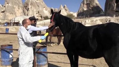 NEVŞEHİR - 'Güzel atlar ülkesi' Kapadokya'nın atlarına mikroçip takılıyor