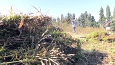 teknoloji - YALOVA  - Proje kapsamında ekilen kenevirlerin hasadı yapıldı