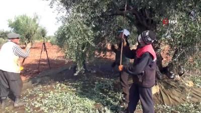teknoloji -  Kilis'te Zeytin hasadı sürüyor