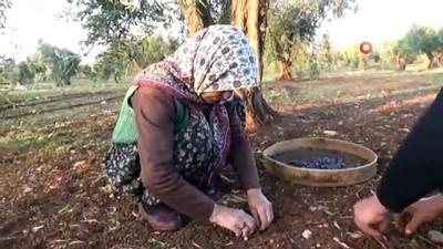 tam gun -  Kısıtlamadan muaf olan zeytin üreticileri hasad yaptı
