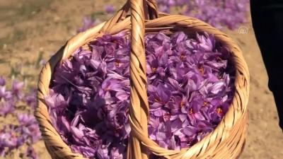 KARABÜK - 'Milli bitki'nin verimi üreticiyi memnun etti