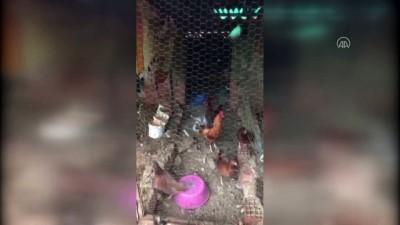 ANTALYA - Kümese giren pitbull tavukları telef etti